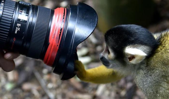Обезьяна во время фотосессии в Лондонском зоопарке 21 августа 2014.