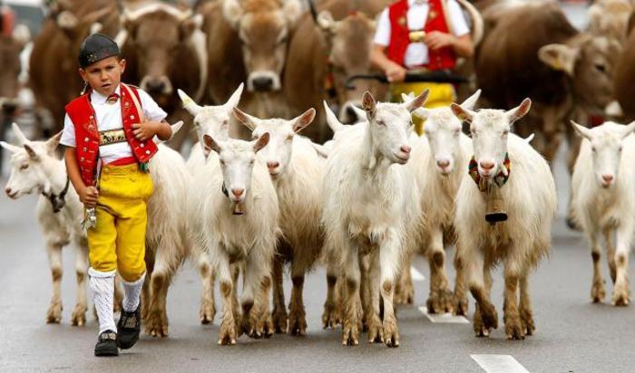 Мальчик в национальном костюме ведет коз во время ежегодного праздника Alpabzug в Гонтене, Швецария.