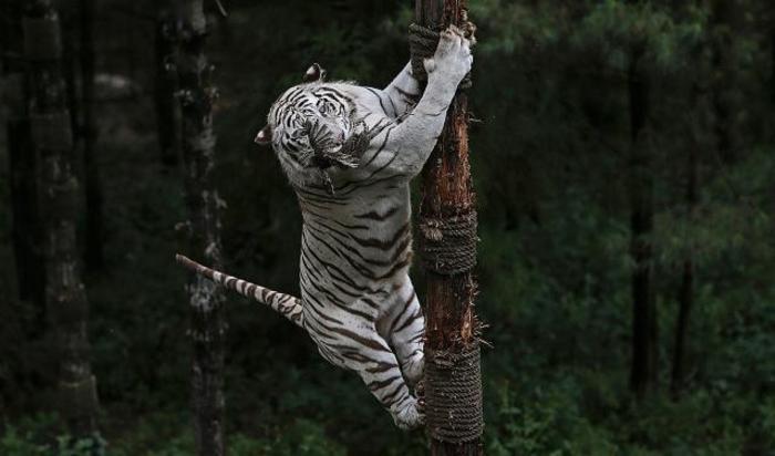 Бенгальский тигр в Парке дикой природы в провинции Юньнань, Китай.