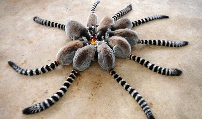 Лемуры едят в Парке дикой природы в Циндао в провинции Шаньдун, Китай 27 января 2015.