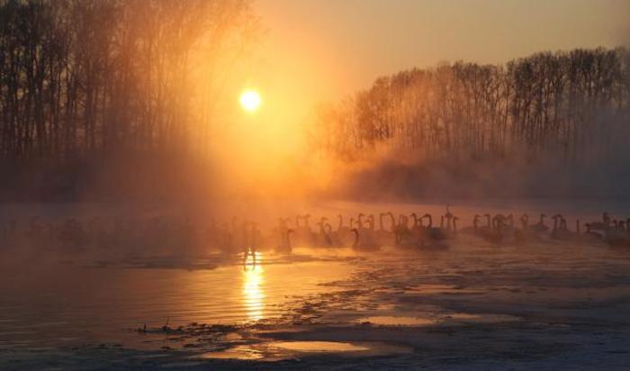 Лебеди плавают в озере возле села Урожайный Алтайского края, Россия.