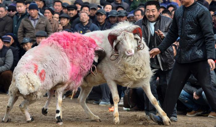 Бои баранов во время фестиваля Лаба в Лиангшан провинции Шаньдун, Китай.