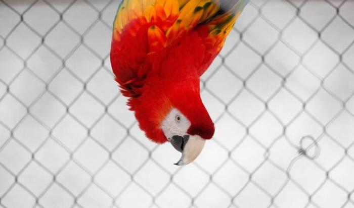 Красный ара в зоопарке Сьюдад-Хуареса, Мексика.