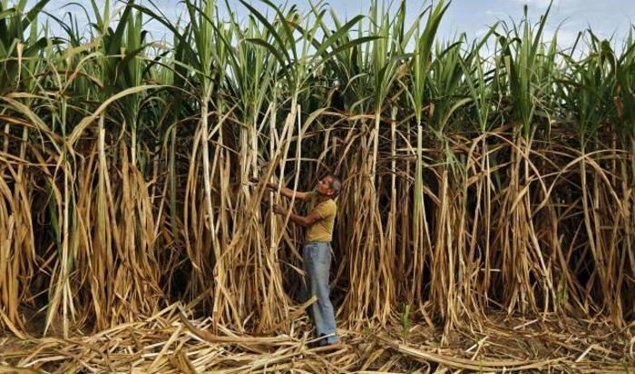 Фермер работает на плантации сахарного тростника на окраине Ахмедабада, Индия 28 февраля 2015.