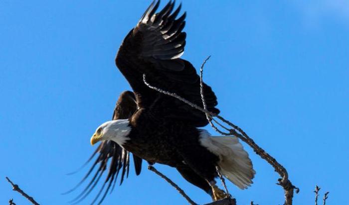 Американский белоголовый орлан взлетает с дерева в парке Кингстон Пойнт, Кингстон, Нью-Йорк, США.