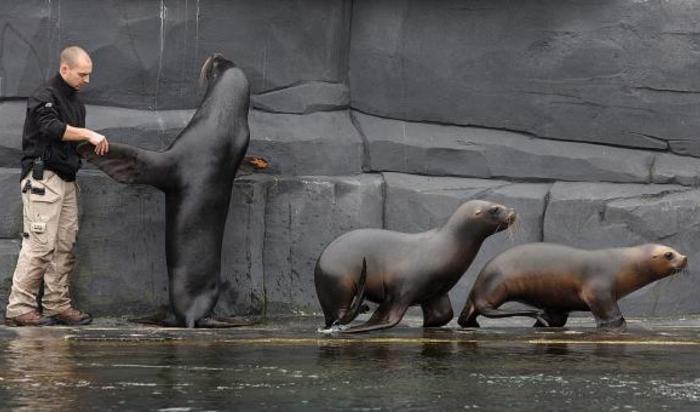 Ветеринар работает с морскими львами в Парижском зоопарке.