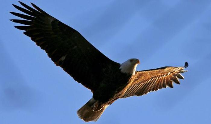 Американский белоголовый орлан парит над рекой Гудзон в Кротон-на-Гудзоне, штат Нью-Йорк, США.