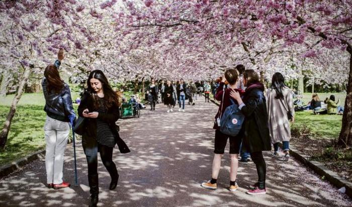 Цветение вишневых деревьев на кладбище Bispebjerg в Копенгагене, Дания.