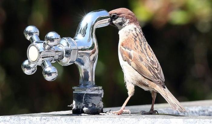 Воробей пьет воду из крана в парке. Сувон, Южная Корея.
