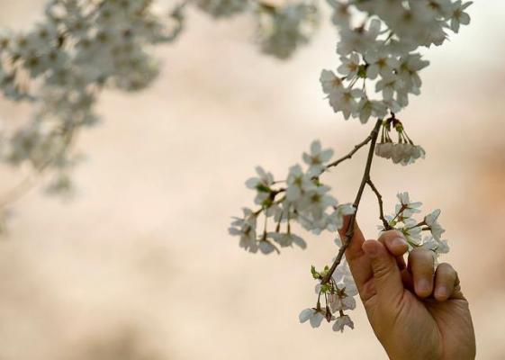 В Японии весна идет полным ходом