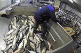 Дальний лосось. Отечественной рыбе до российских прилавков — слишком далеко и дорого