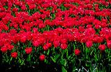 Россия ограничила ввоз голландских цветов и может потерять на этом деньги
